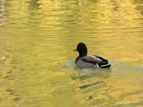 Malard duck swimming in golden water by A1Z2E3R
