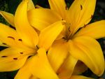 yellow lillies by shrapnel420