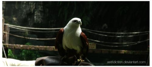 Brahminy Kite by astridiction