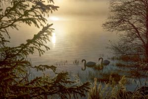 Foggy Morning Swans by Spyder-art