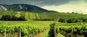 vineyards by little-snow-flake-7