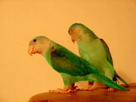 Parrots by adoch