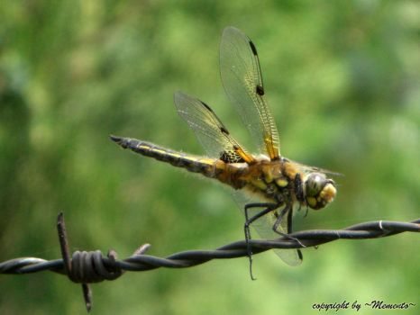 Dragonfly I by LexartPhotos