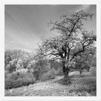 Old Cherry by Zyklotrop