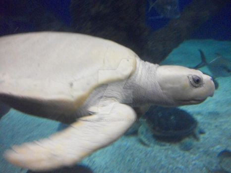 Albino Sea turtle by Animal-Ive-Become