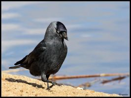 Marching Jackdaw by cycoze