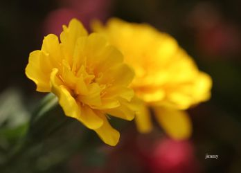 Touch of yellow by jcphotos