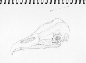 Barn Owl Skull by pixelfish