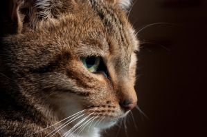 Portrait de felin by Vrogdish