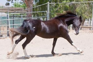 HORSE STOCK - Pippin 2 by kittykitty5150