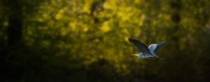 Grey Heron in flight by MoonKey19