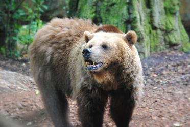 Brown bear by Gredinia