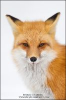 Red Fox Portrait by gregster09