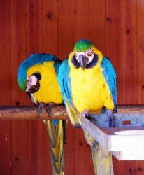 blue and gold macaw 02 by carlbert