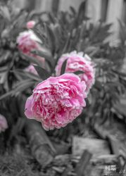 Peony Flowers with black background by THEAESTHETICWEEB