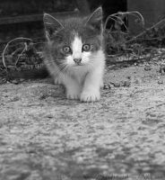 cat by Sybil1902
