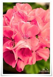 Just pink flowers by passionefoto
