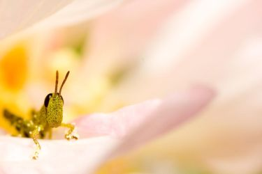 Grasshopper on Flower by sharpion