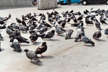 FREE STOCK, London Pigeons by mmp-stock