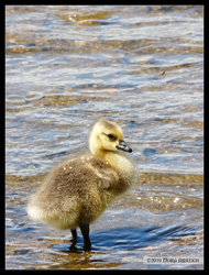 Portrait of a Gosling 2 weeks by Mogrianne