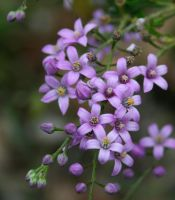 Small Purple Flower 1 by shhhhh-art-Stock