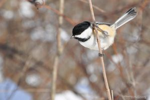 Black-capped Chickadee II by Chelsey-Dunn