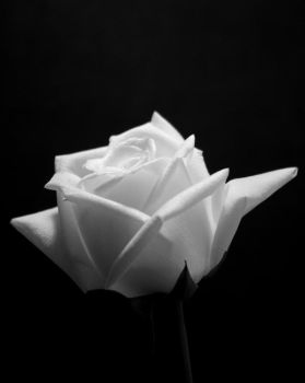 eighteenth rose by Toolow
