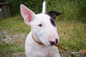 Bull Terrier Puppy by beddiz