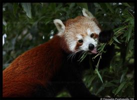 Red Panda: Cute Tongue by TVD-Photography