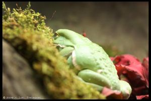 Waxy Monkey Tree Frog 3 by Vamppy