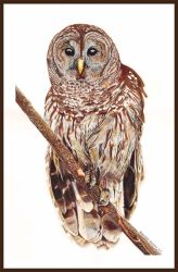 The Barred Owl by Brendan65