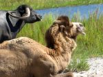 Camel and Water buffalo by Goldphishy