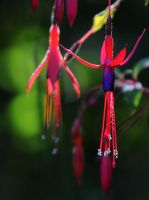 Wild Fuchsia by Althytrion