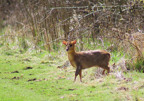 Muntjac by S4MMY4RT