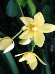 Yellow Orchid by intouch
