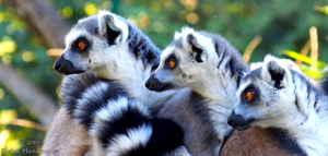 Lemurs by Delragon