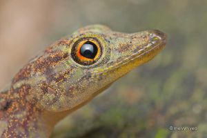 Smiling Gecko by melvynyeo