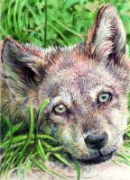 10.2 Wolf Pup by theperian