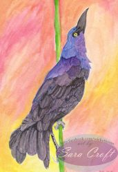 Great-tailed Grackle by Neheti