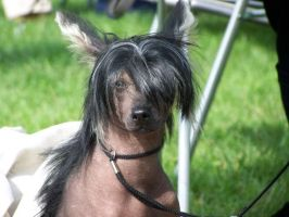 Chinese crested by liliputek