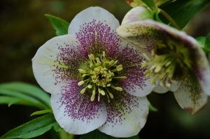 White and Pink Spotty Hellebore by Mararda
