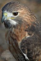 Red Tailed Portrait by JEnglePhotography