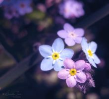 :: Forget me not :: by Whimsical-Dreams