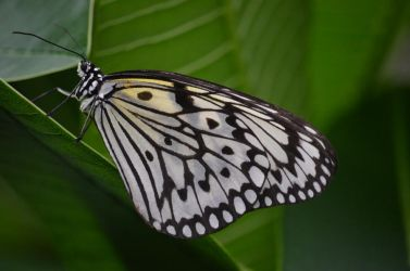 see-through butterfly by deianira-fraser
