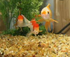 Oranda Trio by Misa-on-Wheels