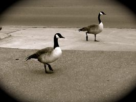 'Geese on the Town' by ilovelucy365