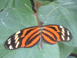 Tiger longwing butterfly by Sia-the-Mawile