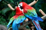 Green Wing Macaws by MegMarcinkus