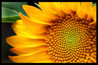 Flor de Sol by OzZcr by Costarricenses