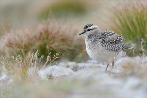 Eurasian Dotterel by ClaudeG
